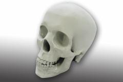 3D-Schädel